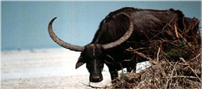 loshi tapu wild life