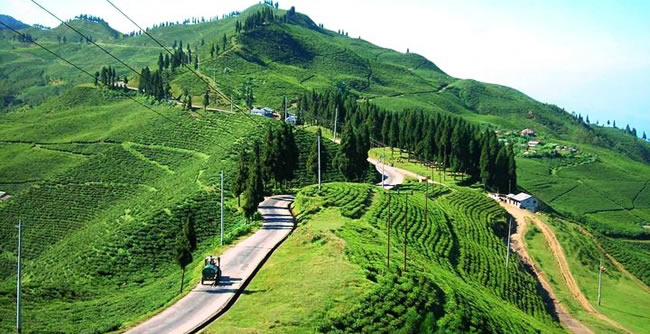 Ilam tea Gerden of Nepal